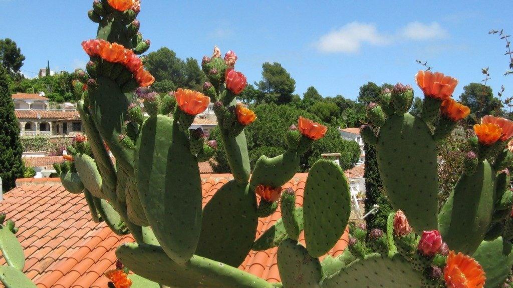 Цветущий кактус - Опунция, Коста Брава