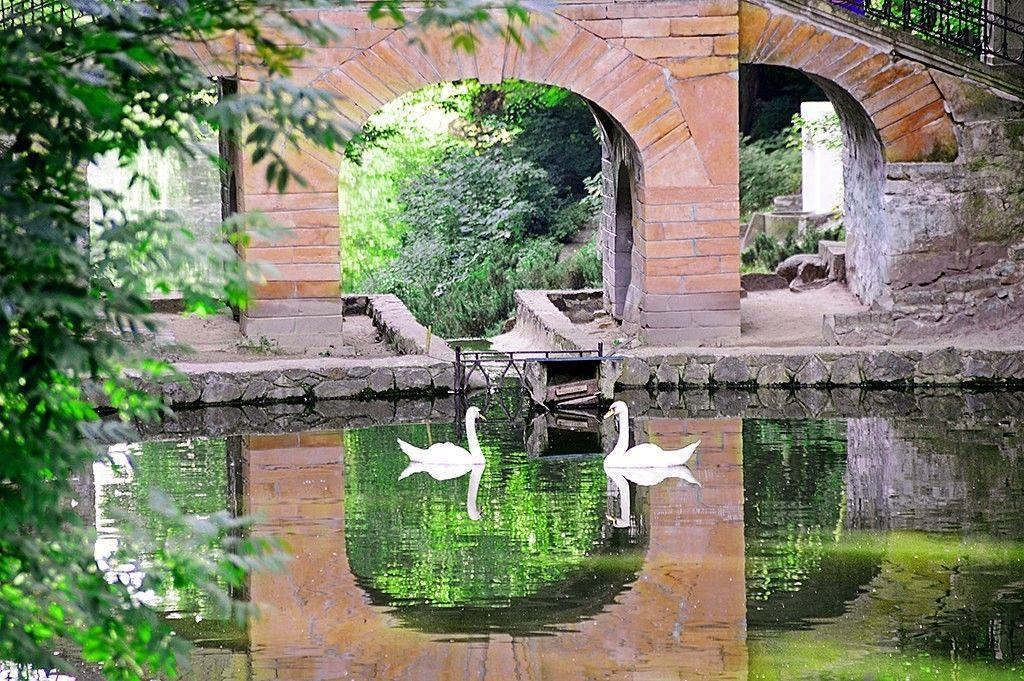 Лебеди под Китайким мостиком на пруду в парке Александрия, Белая церковь