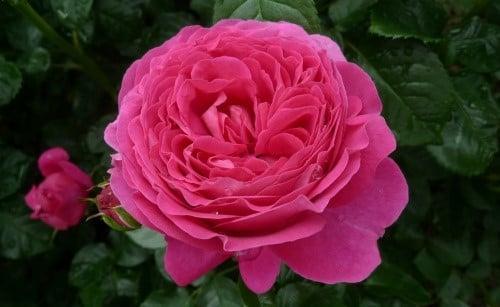 Роза Anuschka