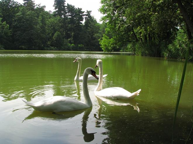 Лебеди в Качановском пруду