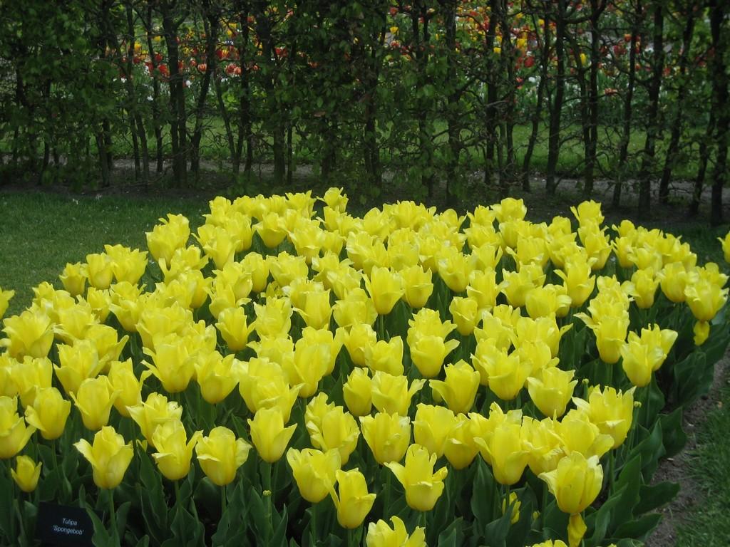 Кёкенхоф - тюльпановый рай