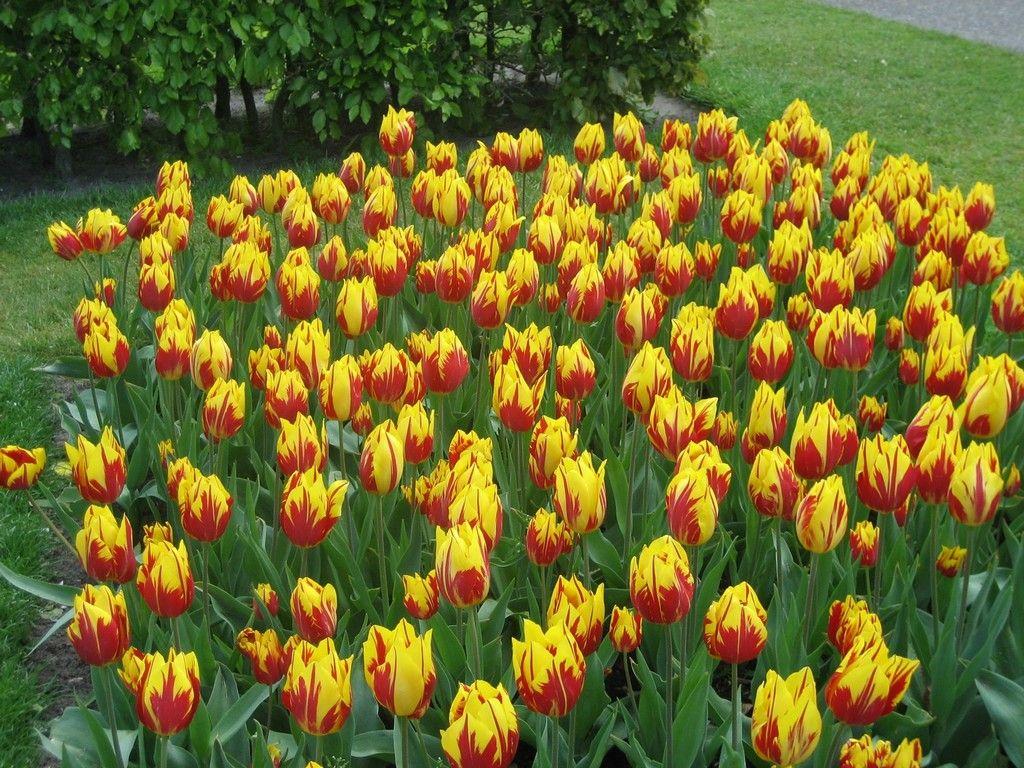 Кёкенхоф - тюльпаны