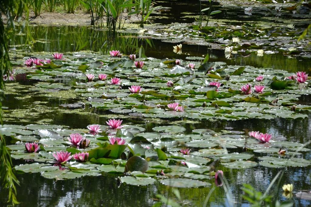 Водяные лилии в саду Моне