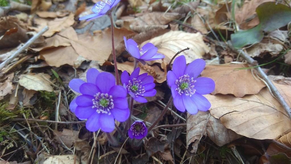Первые весенние цветы на тропе, Фюссен