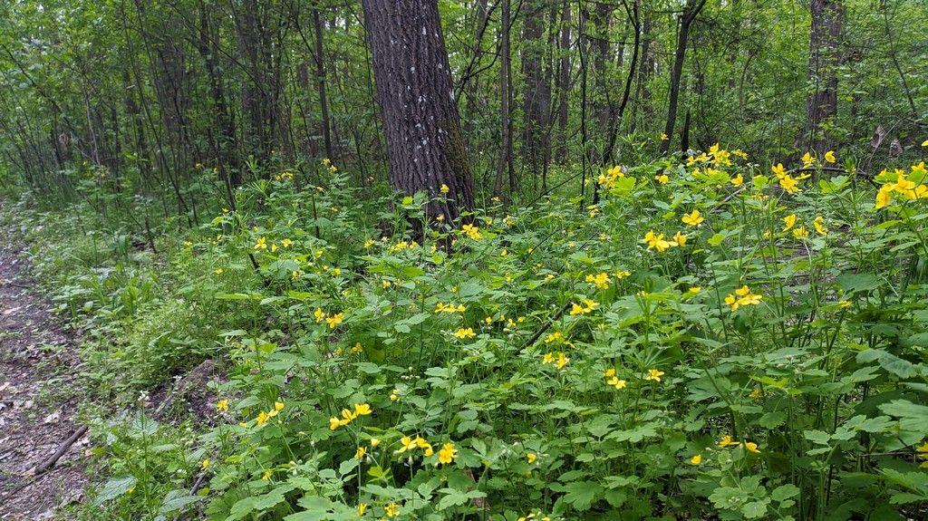 Чистотел в лесу