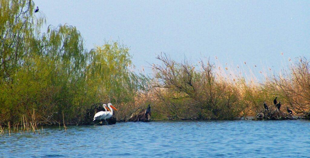 Румыния - Дельта Дуная - кудрявый пеликан и большой баклан