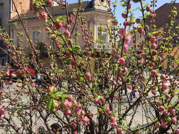 Миндаль цветет в Ужгороде