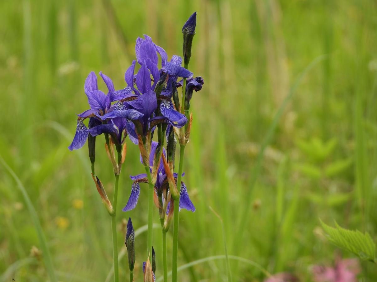 Цветы долины нарциссов - Ирис разноцветный
