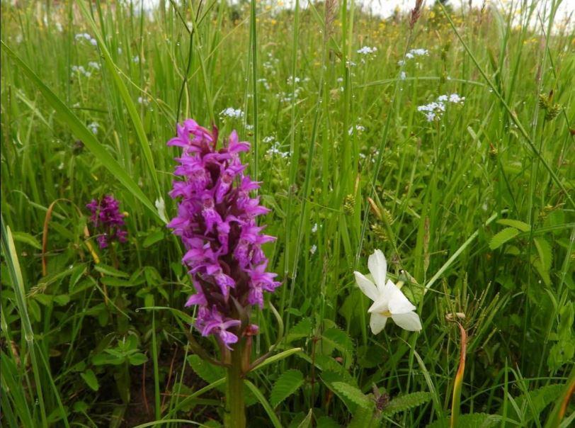 Орхидеи долины нарциссов