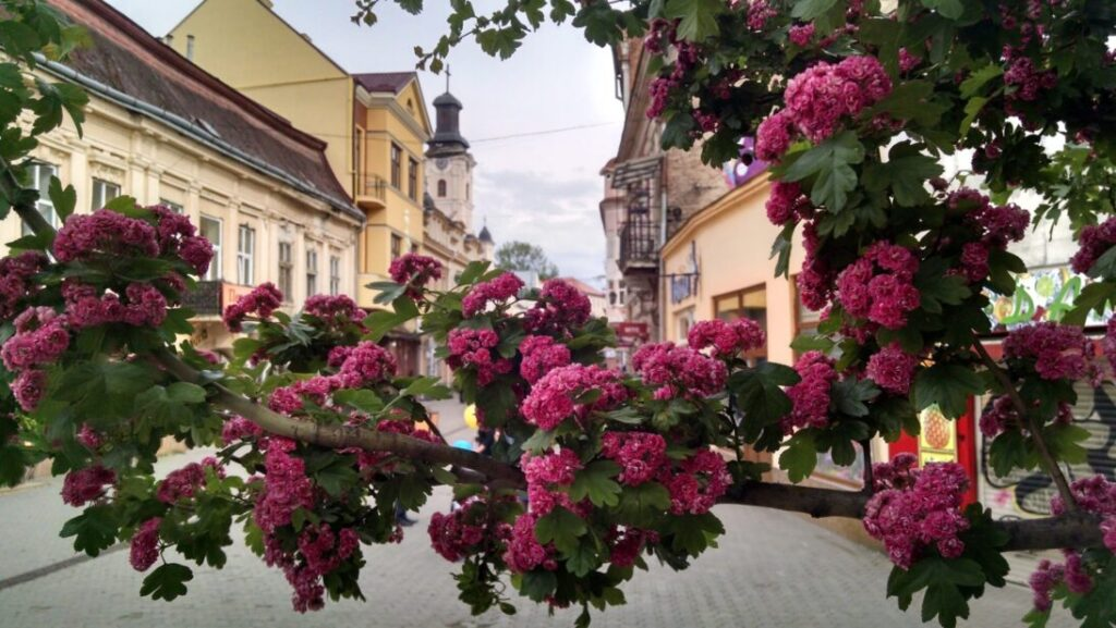 Цветение декоративного боярышника (Rotdorn) в Ужгороде