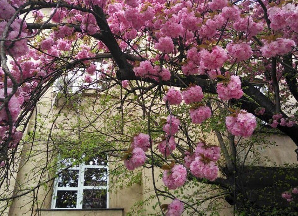 Сакура цветет на улицах в Ужгороде