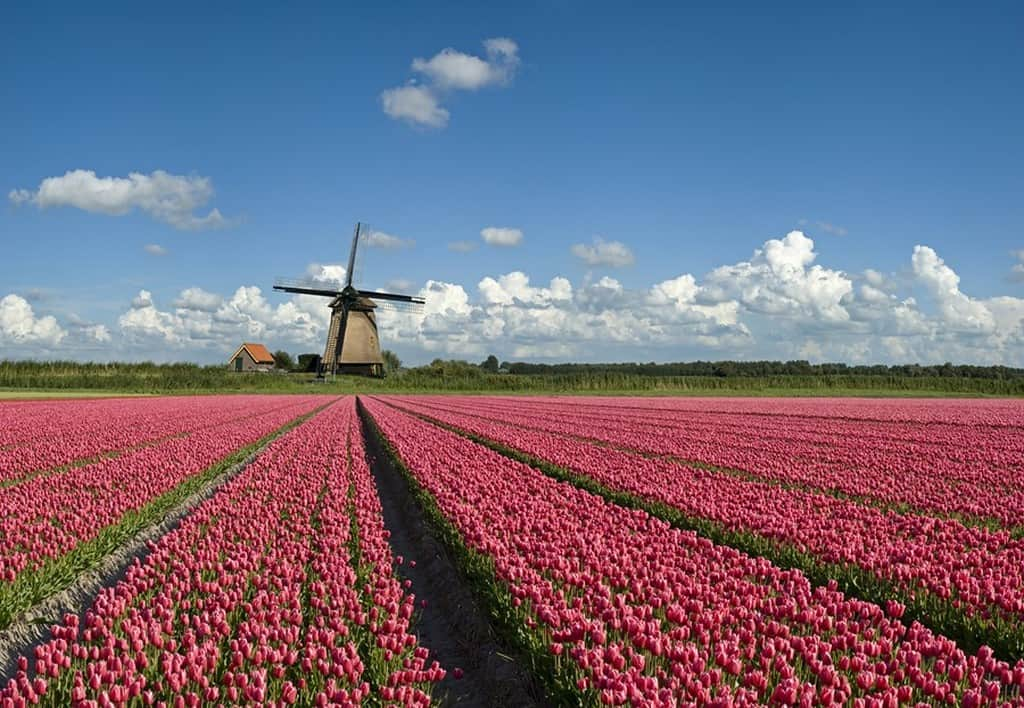 Tulip fields  Кёкенхоф (Амстердам - Нидерланды)